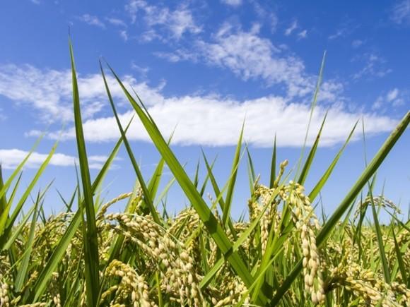 ricepower (1)