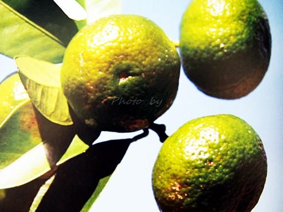 Citrus depressa (2)